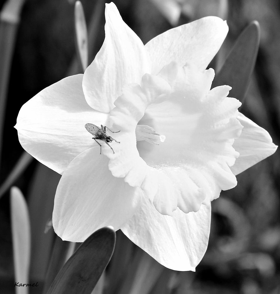 Daffodil with Visitor by karmel