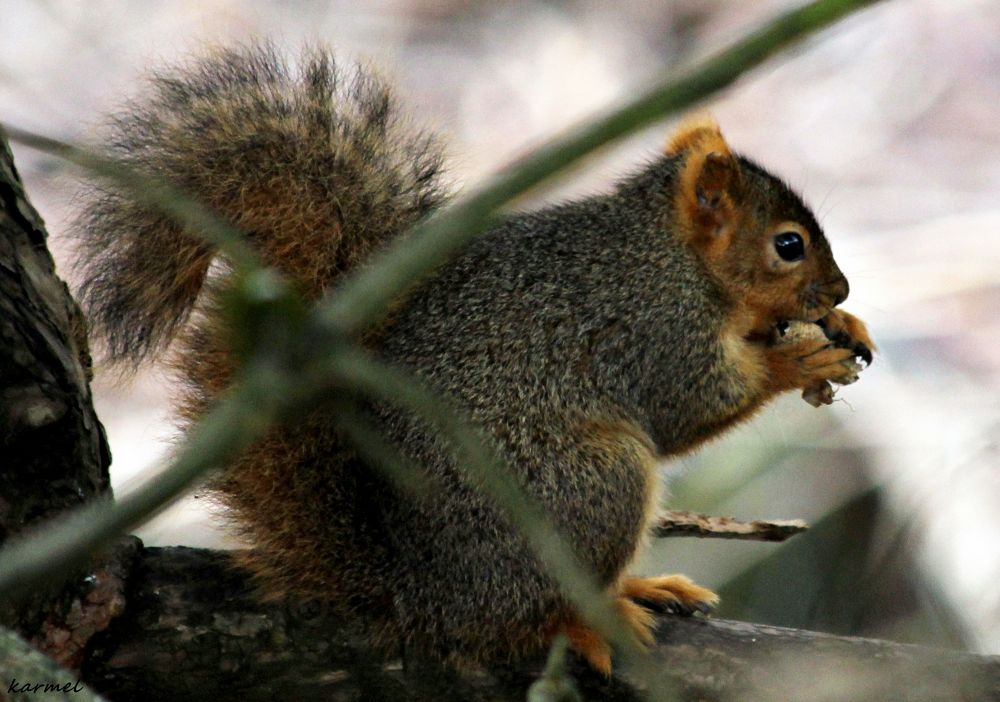 Squirrel eating on a tree branch by karmel