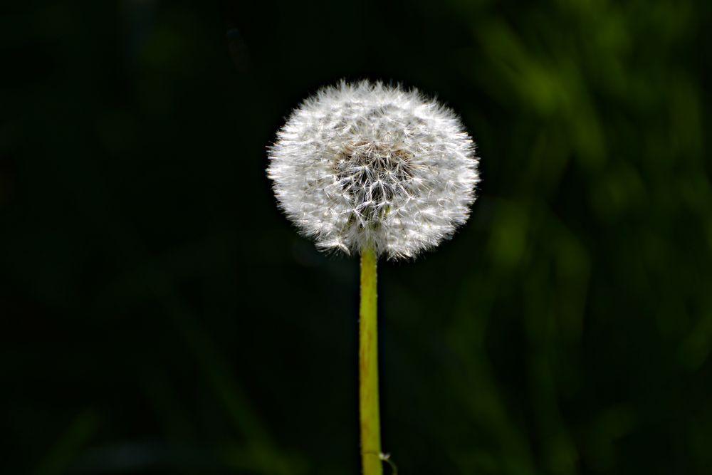 Dandelion - Taraxacum by karmel