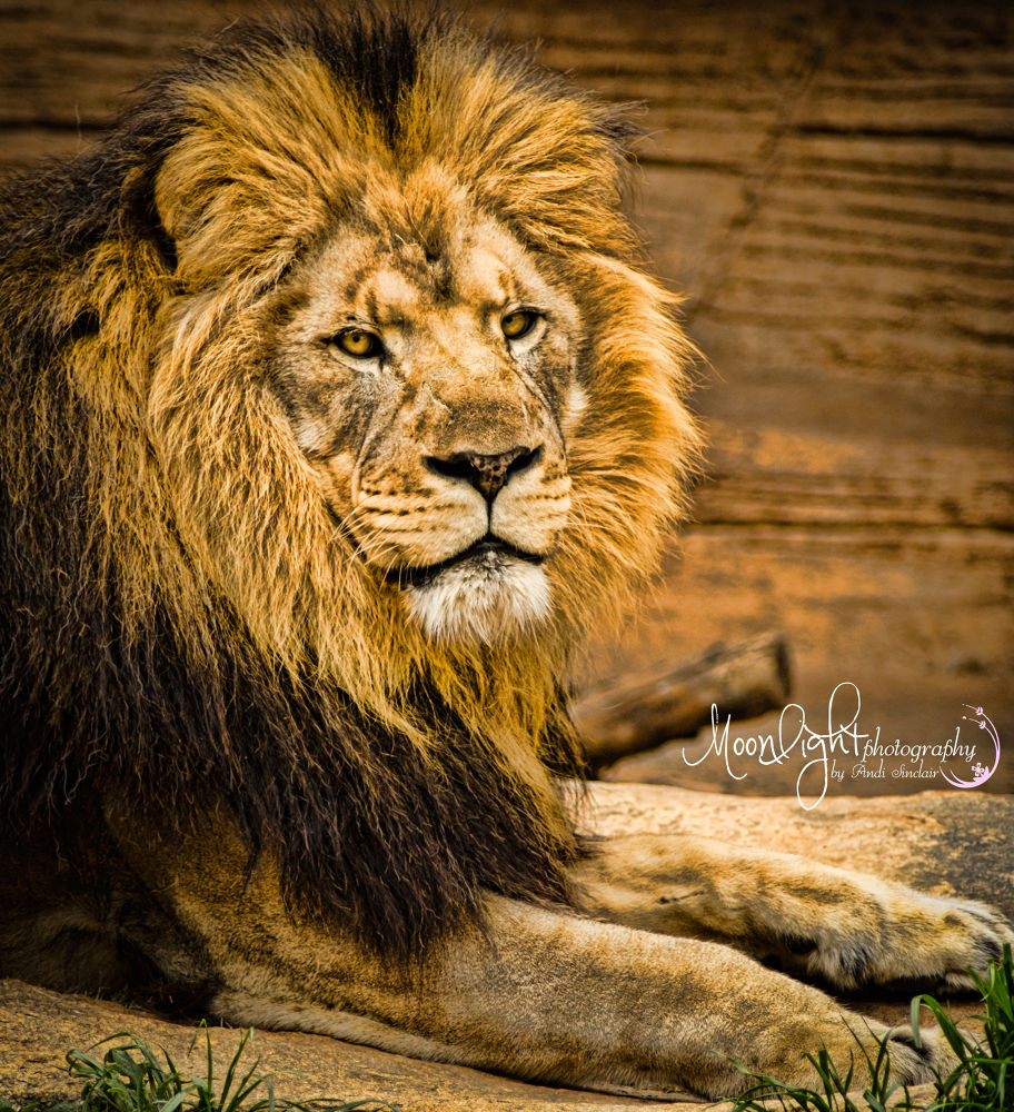 King of the Jungle by Andi Sinclair