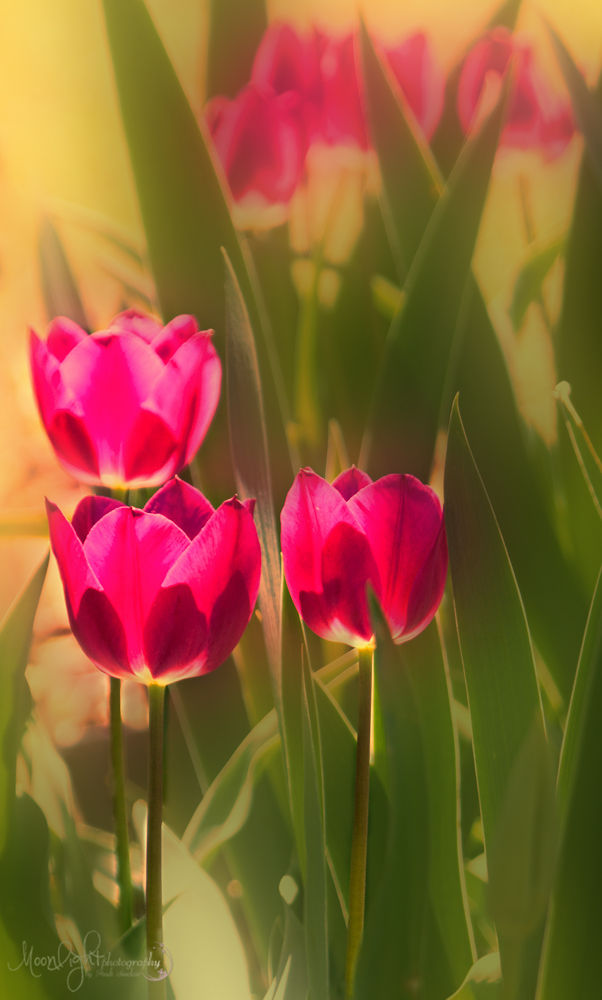 Tip toe through the tulips by Andi Sinclair