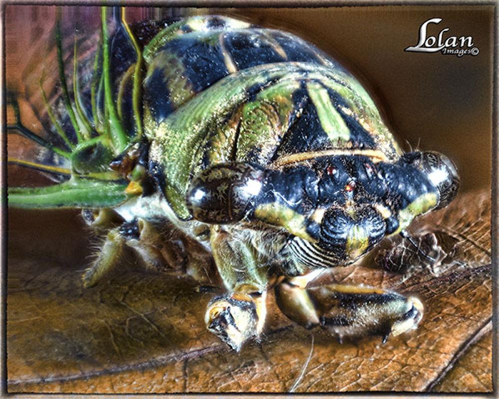 Cicada by tlol