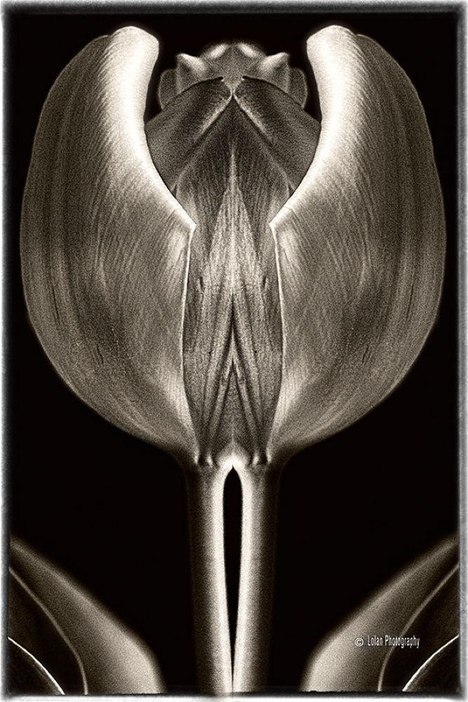Mirrored Tulip by tlol
