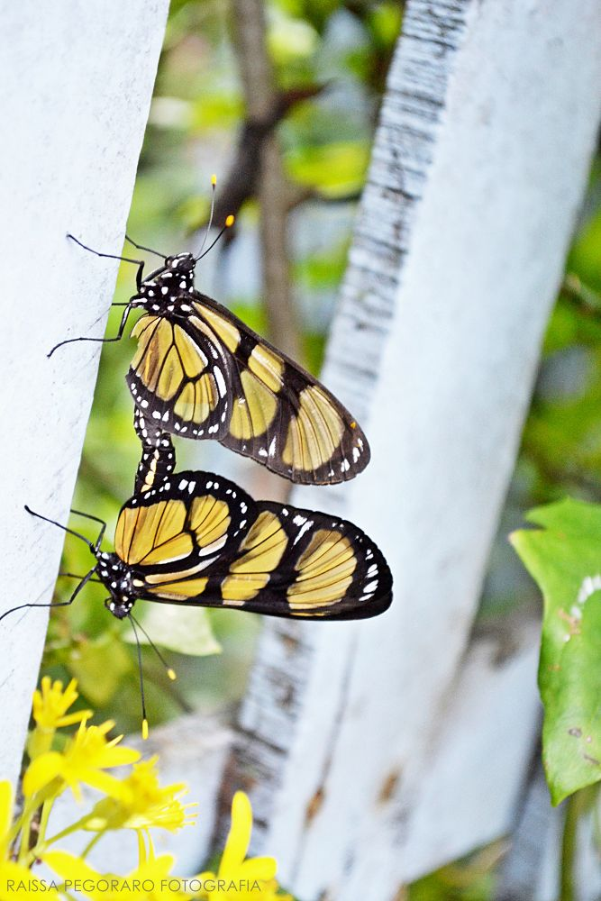 Boterfly  by raissapegorarophoto