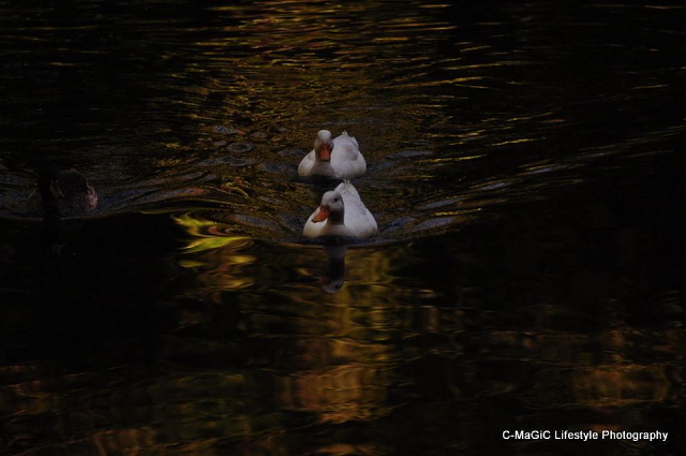 Photo in Random #park #water #duck #birds #swimming #waterbirds