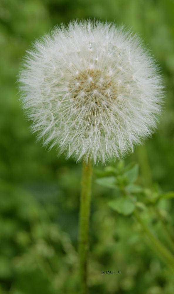 Pusteblume by MikesPhptography