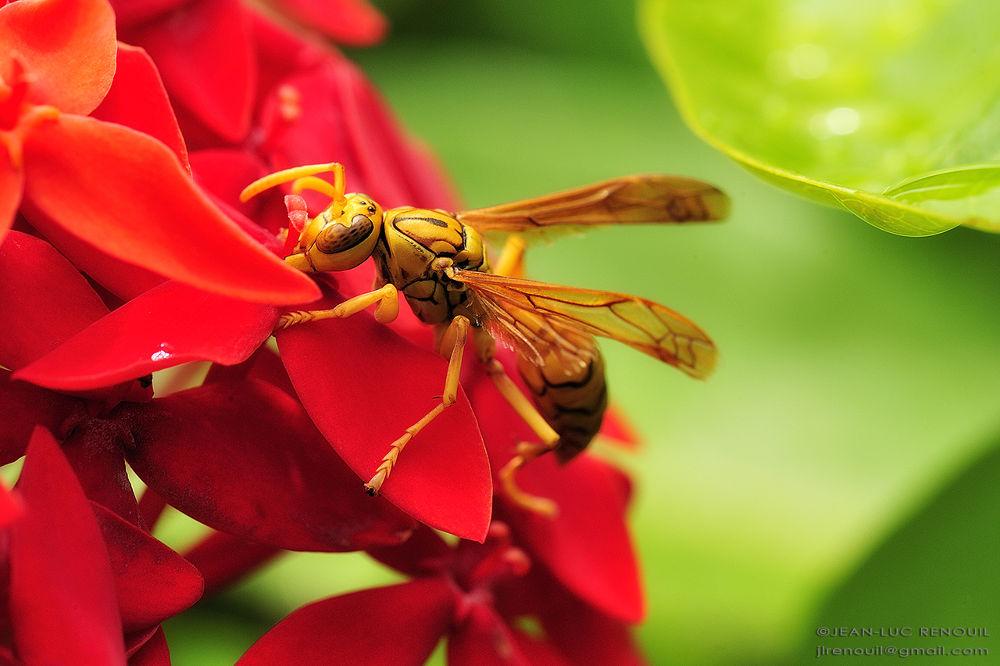 Hornett by Gieller