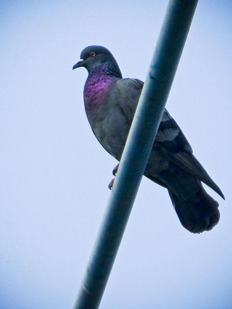 Pigeon by Suman Paul