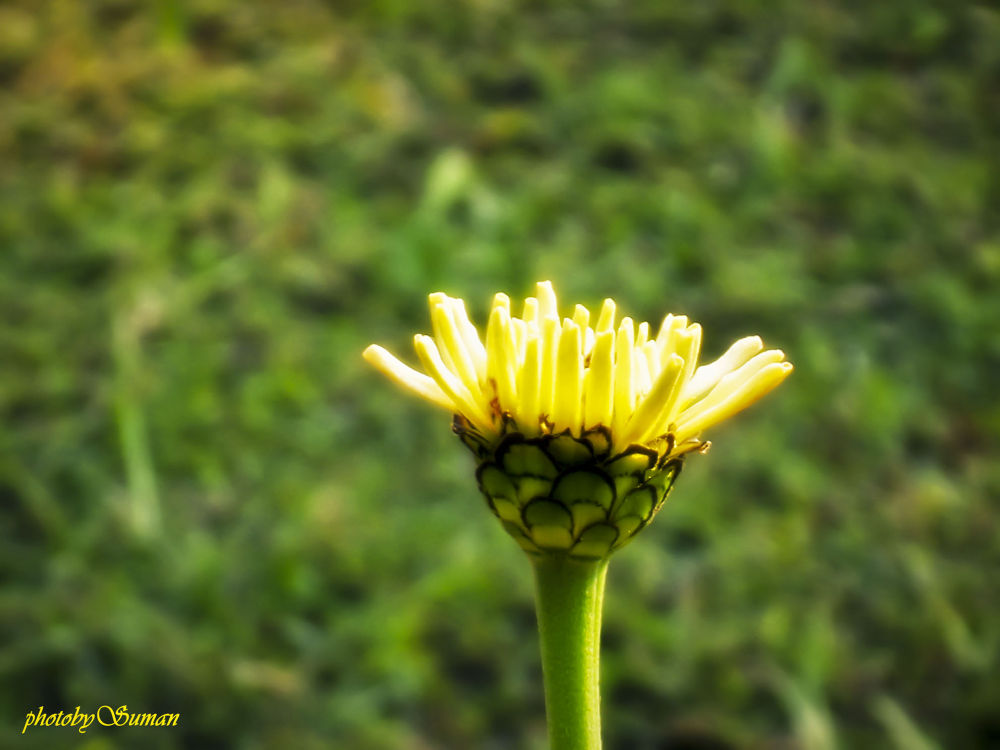 Focus on Flower by Suman Paul