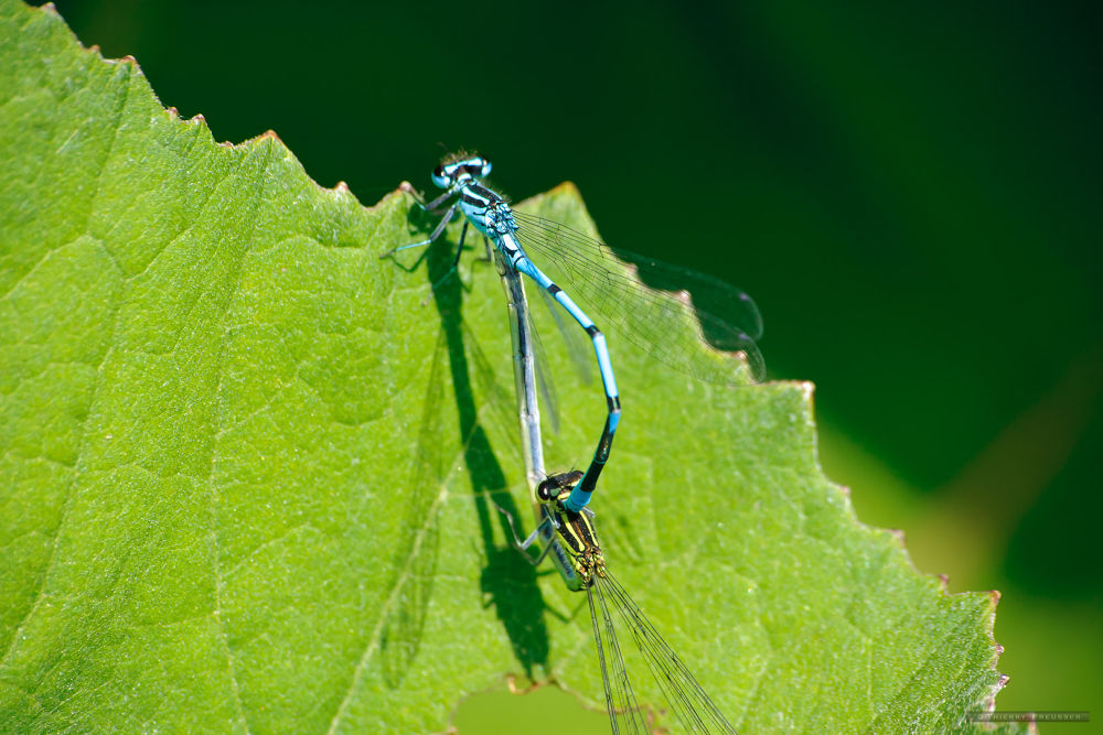 Two blue dragonflies on their sheet by Thierry Preusser