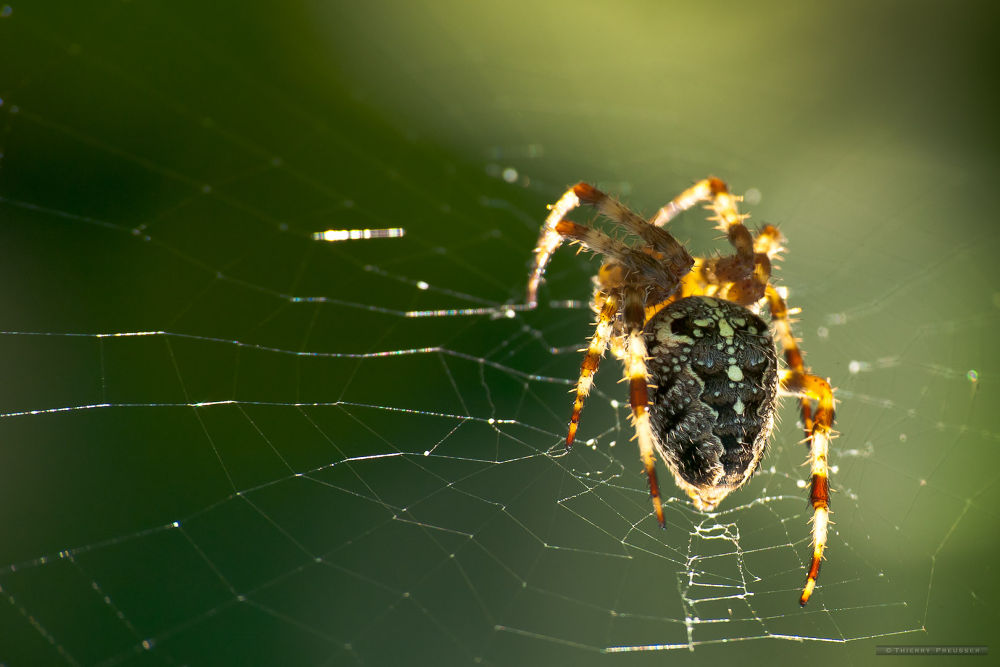 Spider Cross Orb Weaver by Thierry Preusser