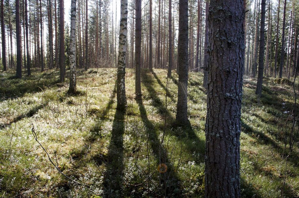 Spring in the Forest _2 by pekka ilari t