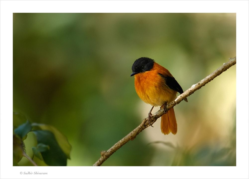 Photo in Random #and #black #orange #flycatcher