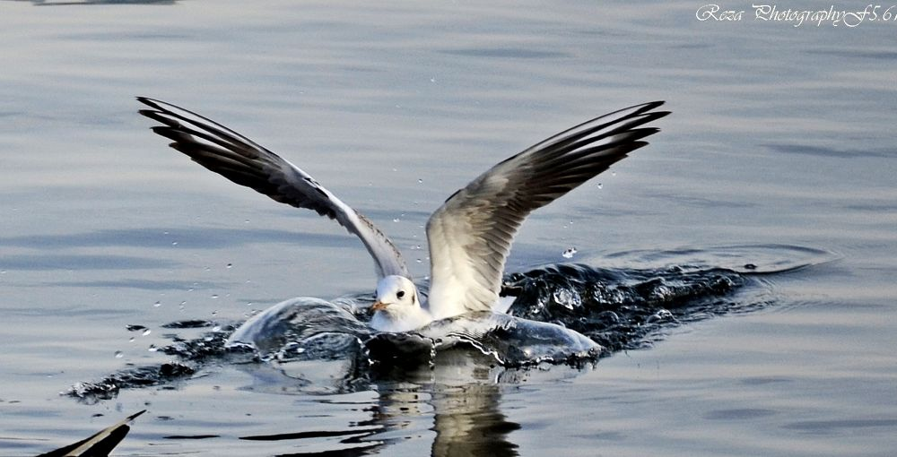Sea gull by S M Rezaul Haque