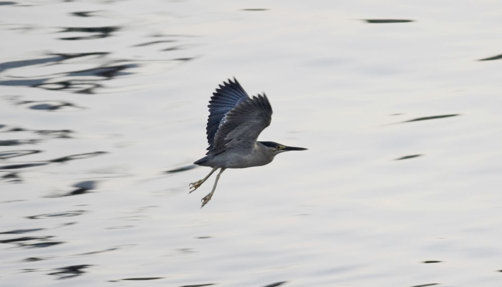 Striated Heron by S M Rezaul Haque