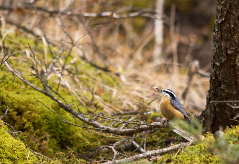 Red Breasted Nuthatch by Melanie Wild