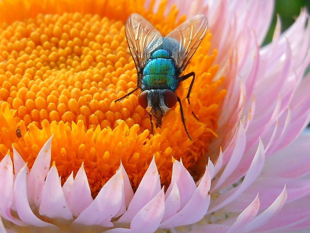 Feeding fly by Marzijapan
