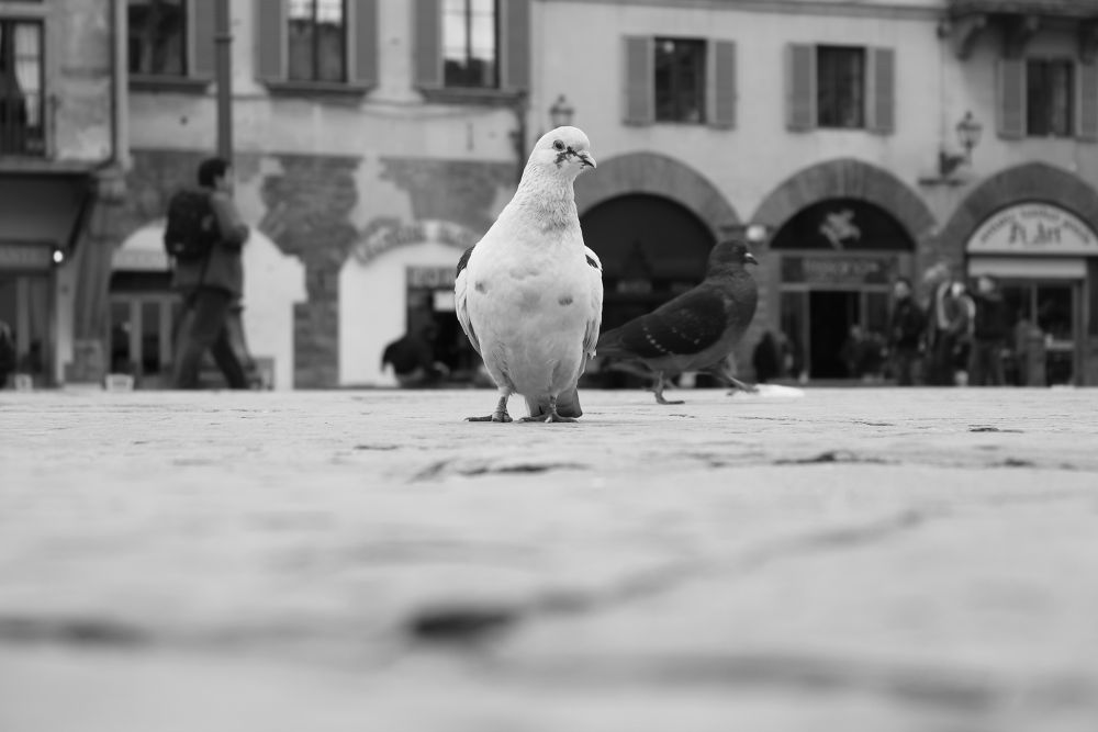 The Pigeon by felipmmelo