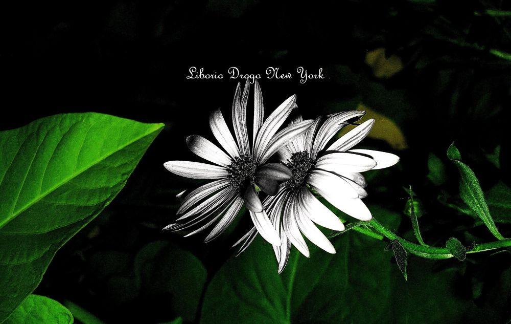 Fleurs B&W, by Liborio Drogo