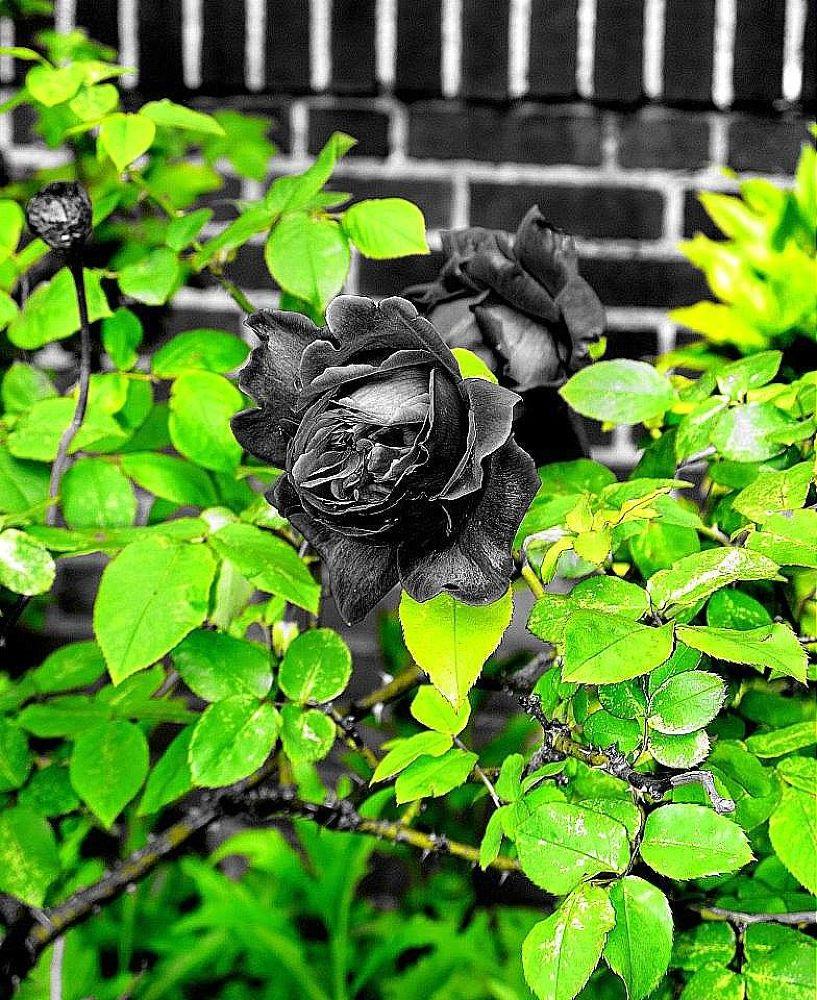 La Rose Noir, by Liborio Drogo