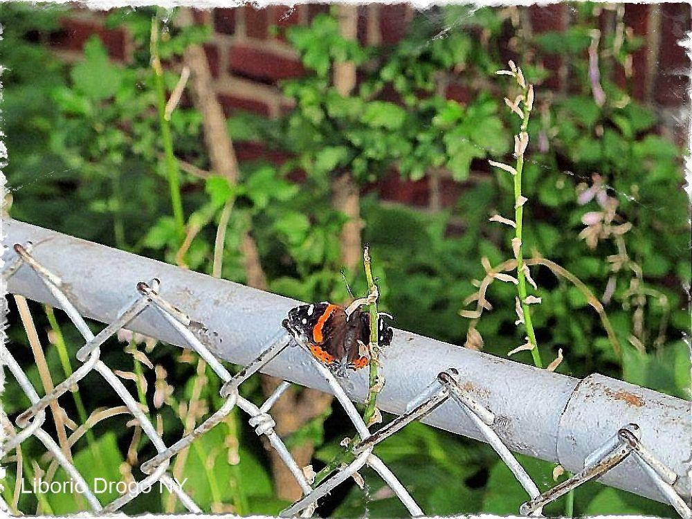 Papillon, by Liborio Drogo