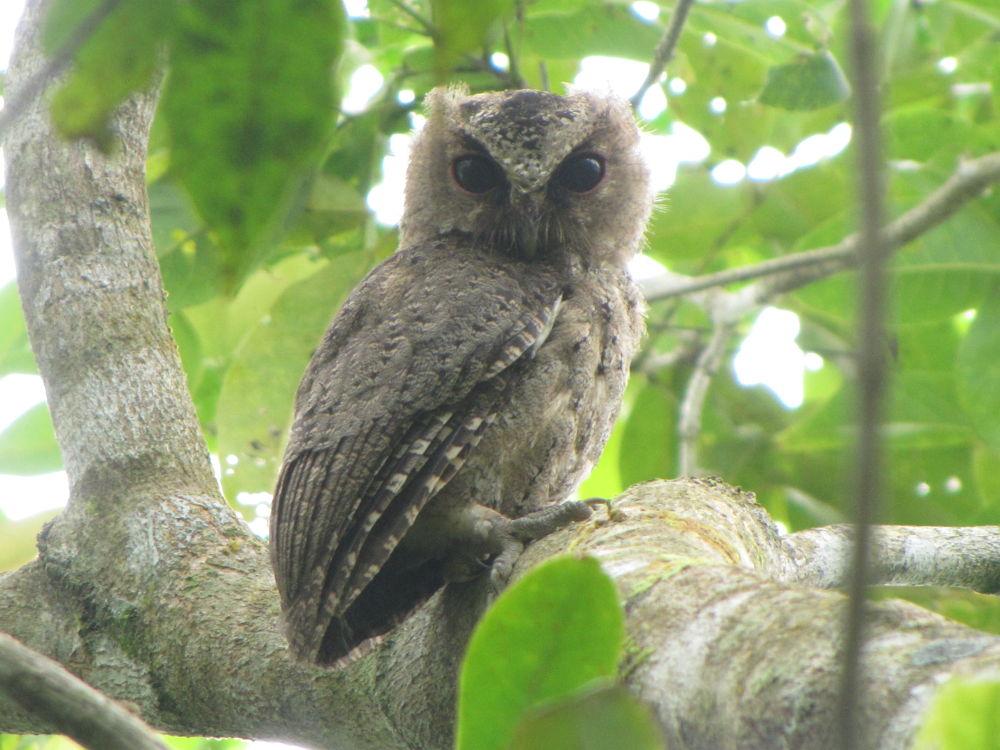 Philippine Scops-Owl (Otus megalotis) by FelixSobiono