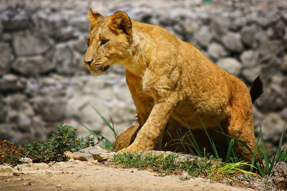 Lion Cub by Jorge Coromina