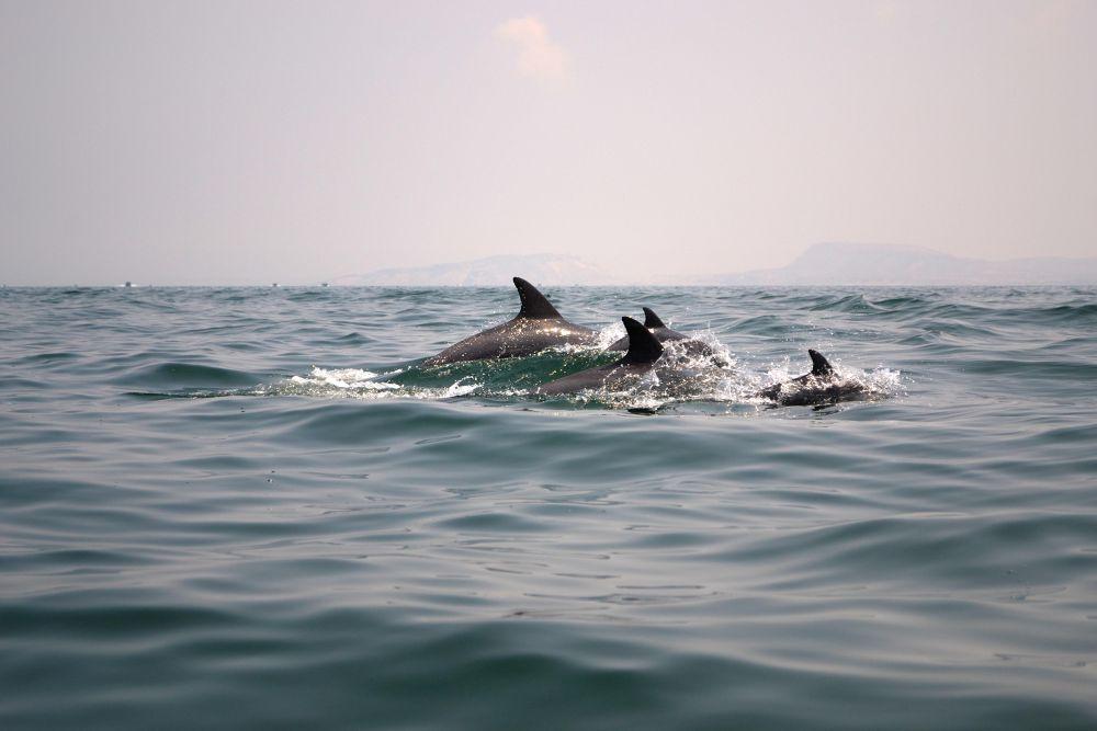 Dolphins by adelehajtalebi