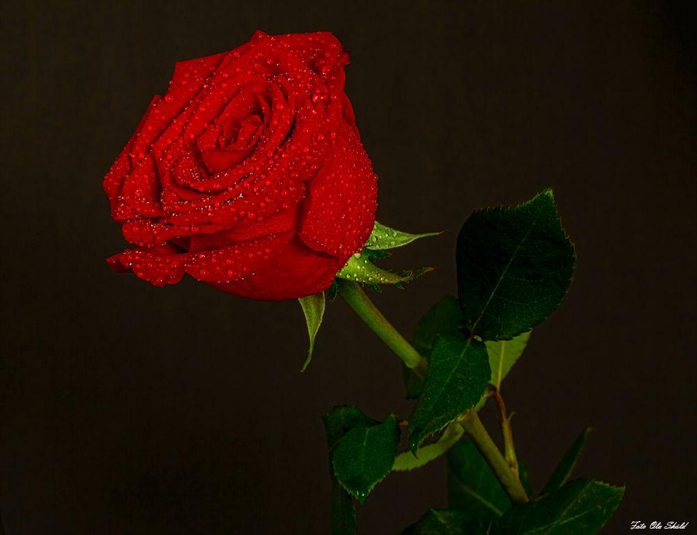 Red-rose by Ola Sköld