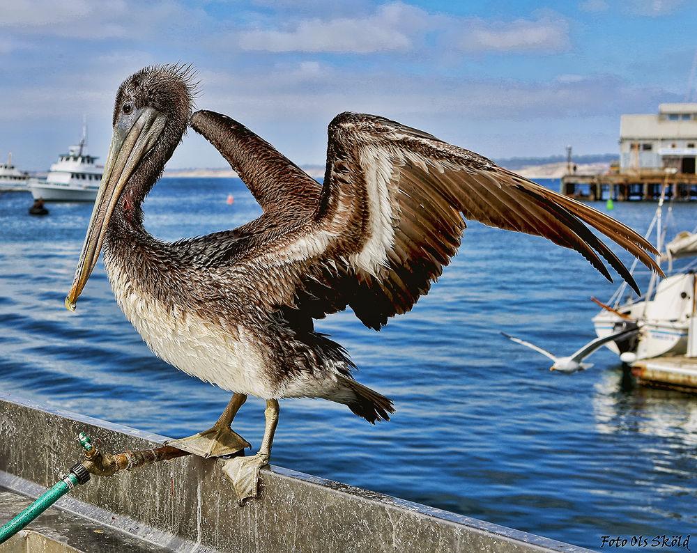 Pelican-1 by Ola Sköld