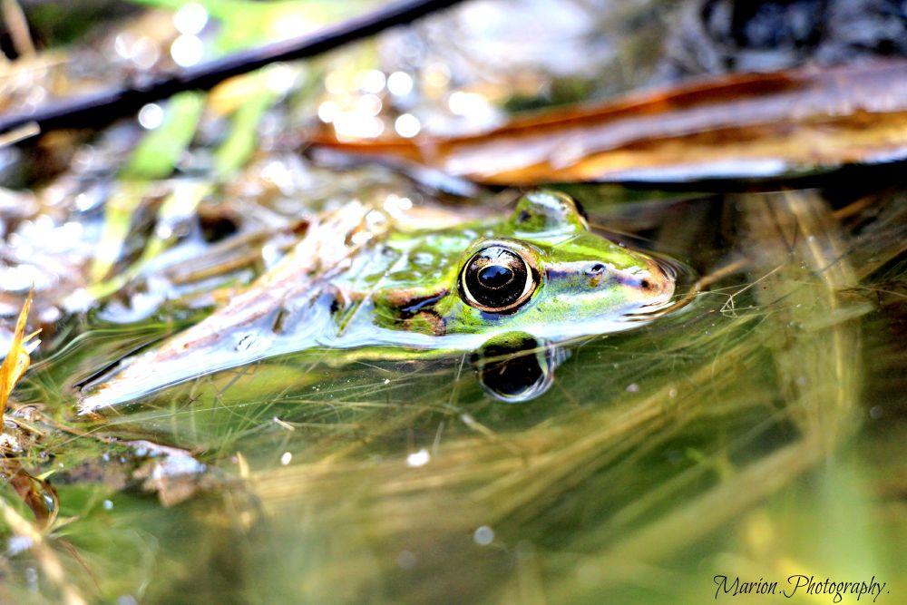 Frog underwater  by Marion.photography.
