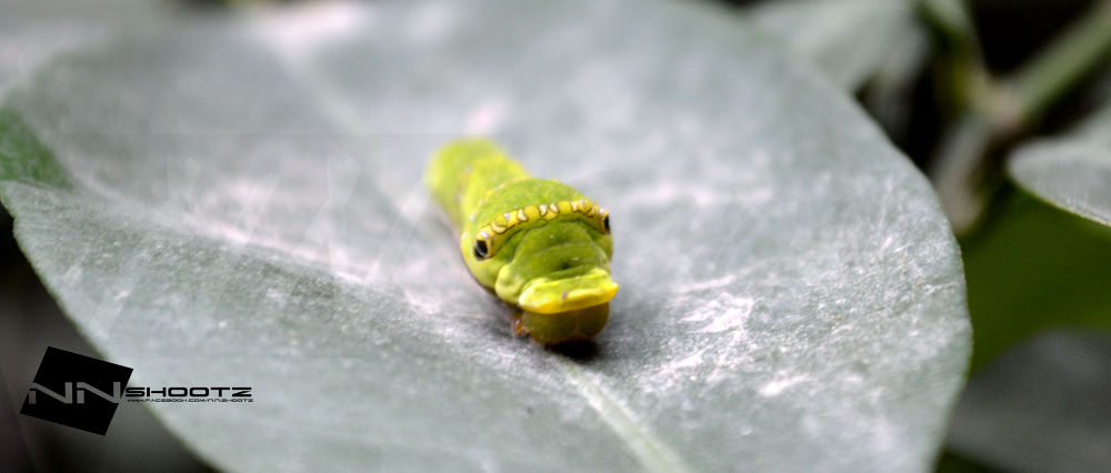 THE CATERPILLER 2nd. by Naveen Nagpal