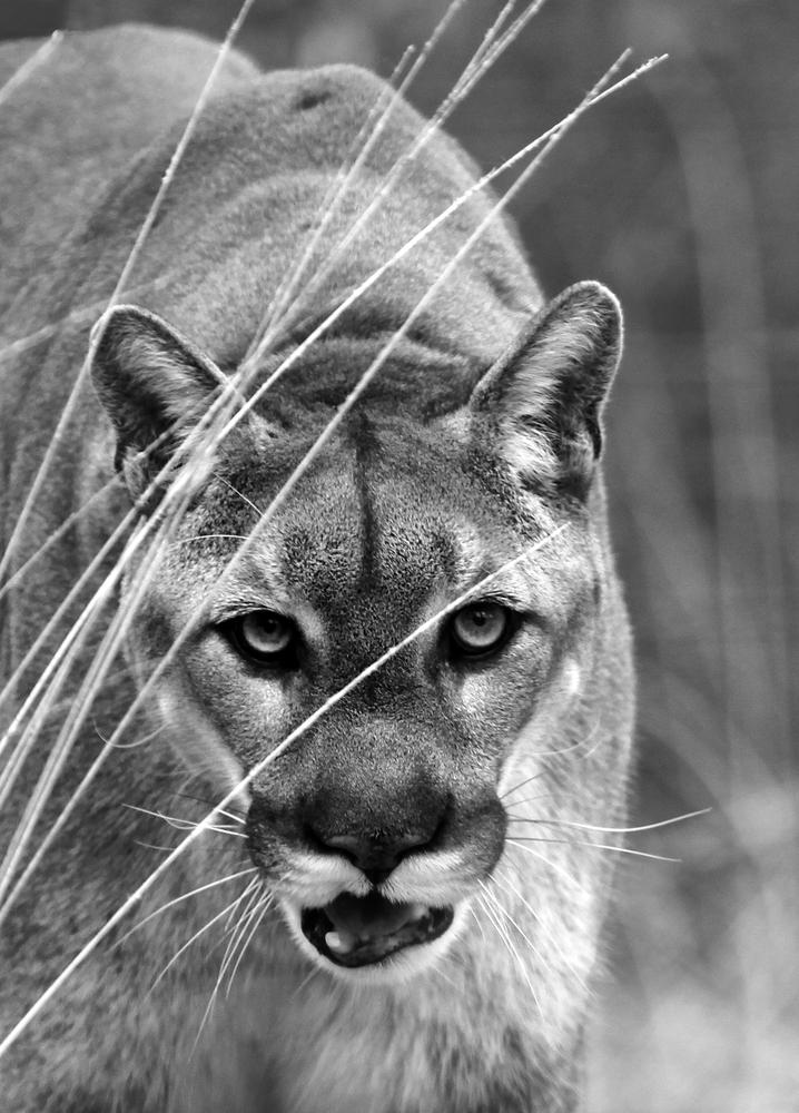 North American Mountain Lion by williamraineyphotography