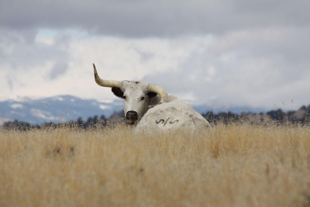 Longhorn Cow by Carole Martinez