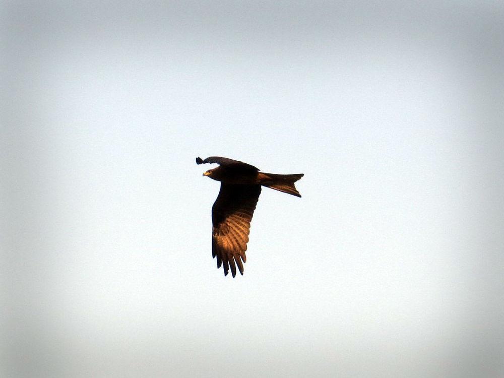 A Kite on hunt... by Arun Kumar