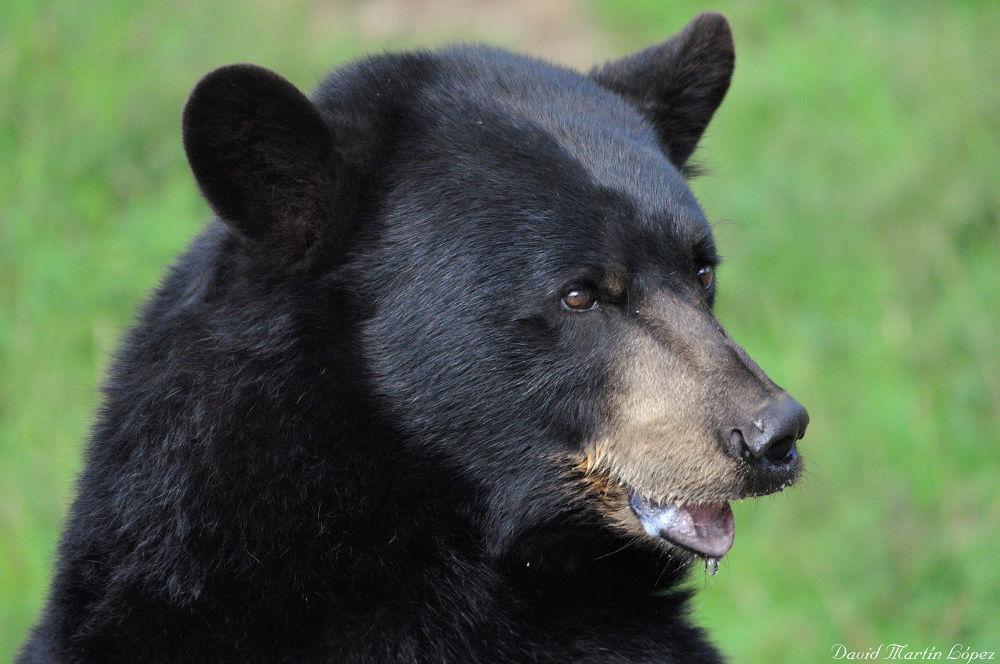Black bear by davidmartinlopez