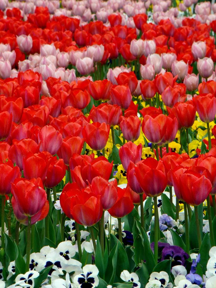 Tulip by asghar asem