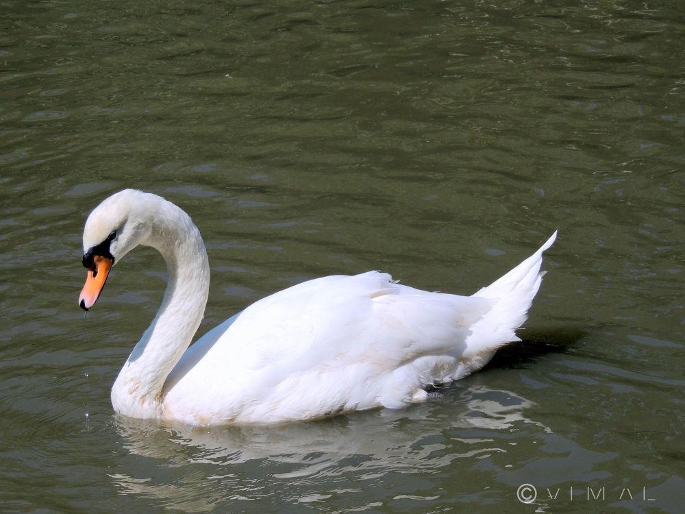 Swan by Vimal Ram S