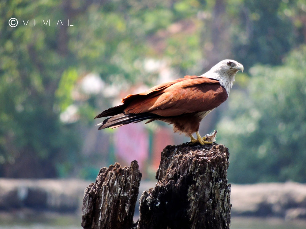 Brahminy Kite with prey  in its claws by Vimal Ram S