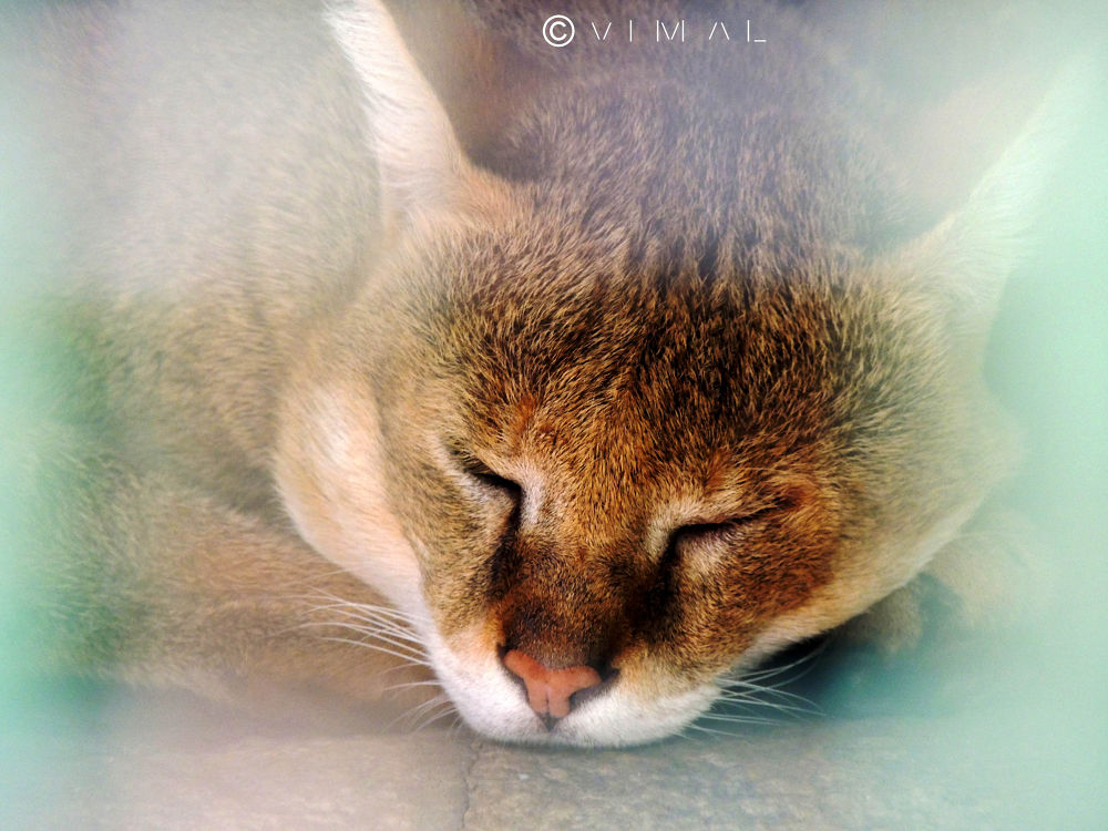 Jungle Cat by Vimal Ram S
