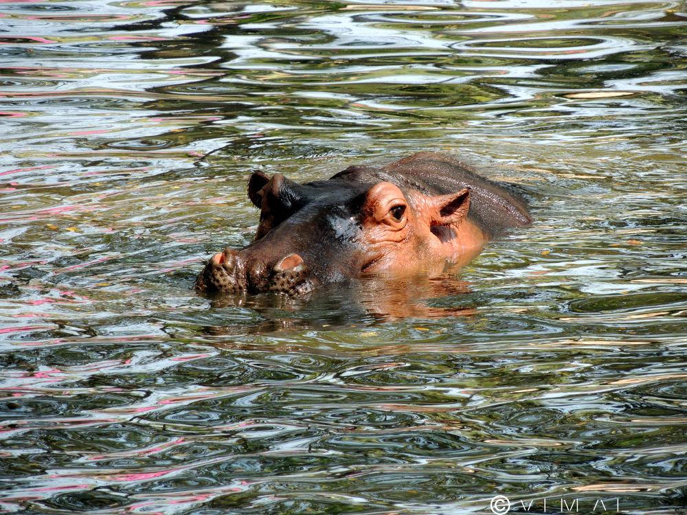 Hippopotamus by Vimal Ram S