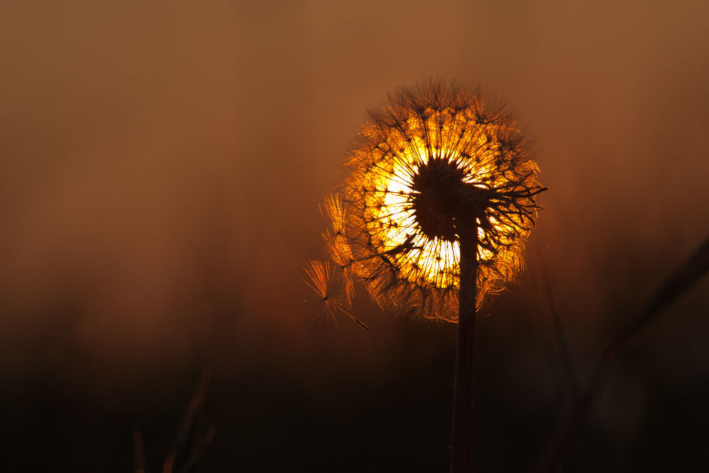 DandelionSunset-2 by Philtography