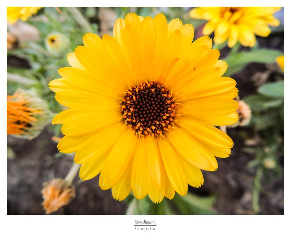 Flowers serie V - She's the one by Silvana Aríncoli