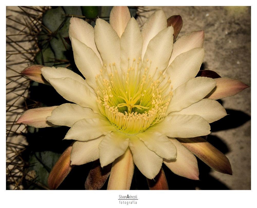 Flowers Serie VII by Silvana Aríncoli