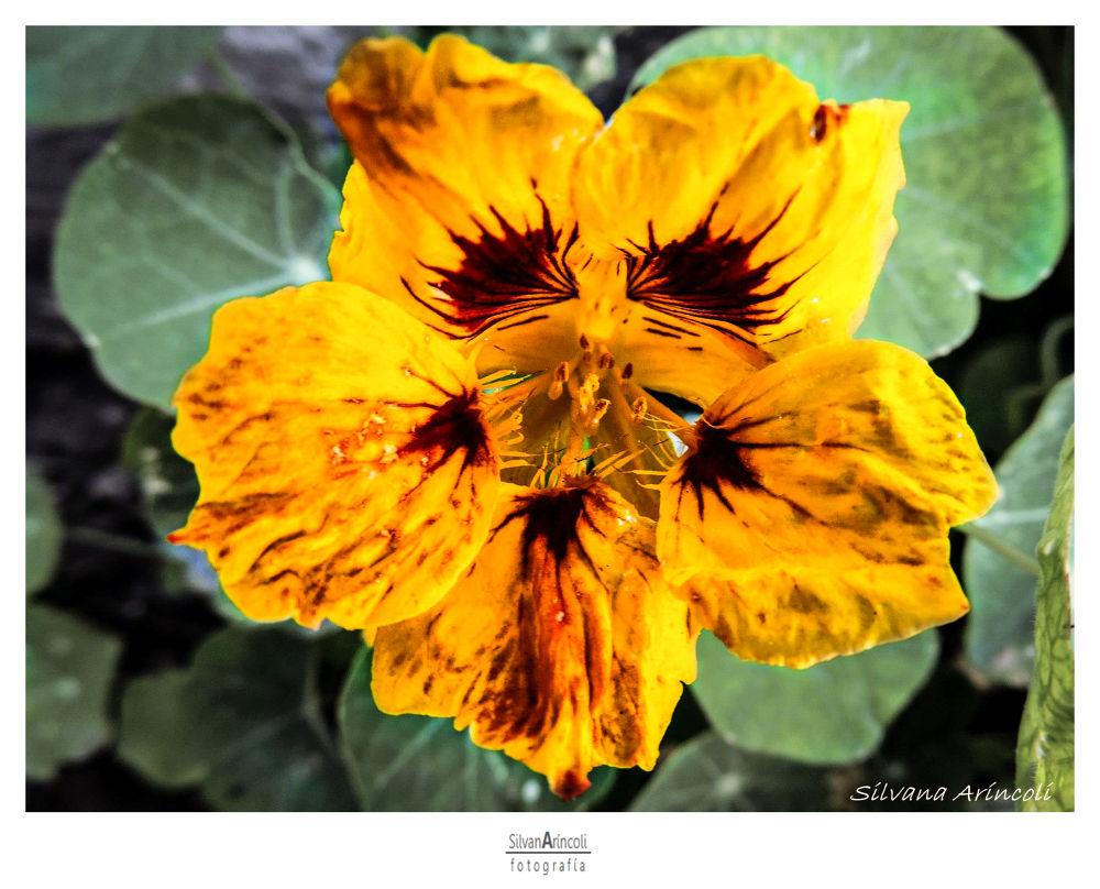Flowers Serie VIII by Silvana Aríncoli