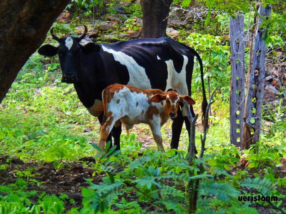 the cow and the calf by Ueriston Machado