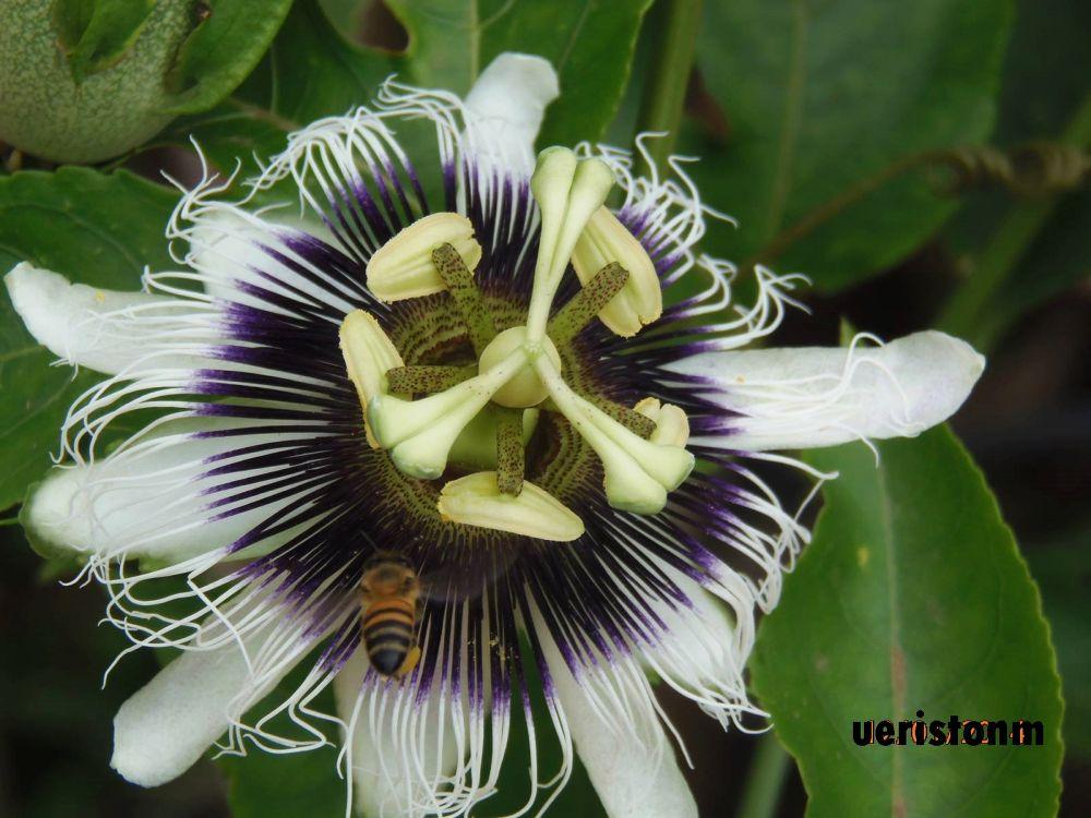 abelha e a flor by Ueriston Machado