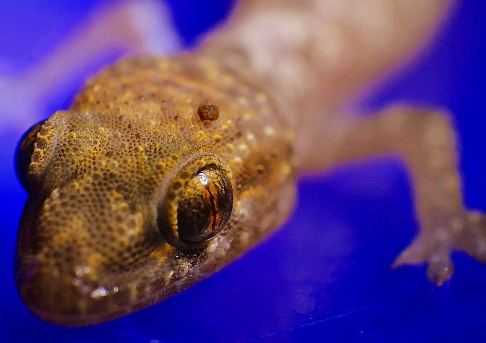 baby gecko by Oren Ravid