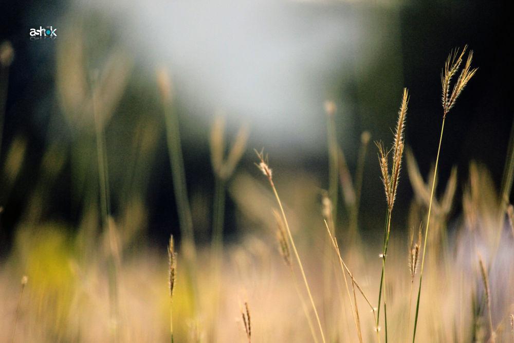 grasses by Ashok Tigga
