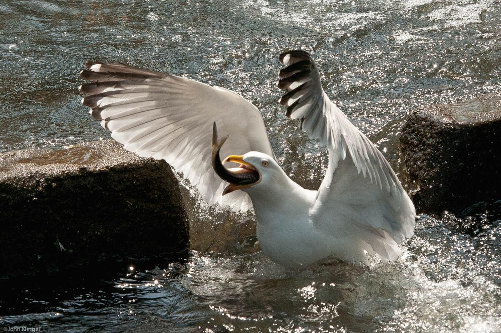 Herring Gull Eating A Herring by John Klingel